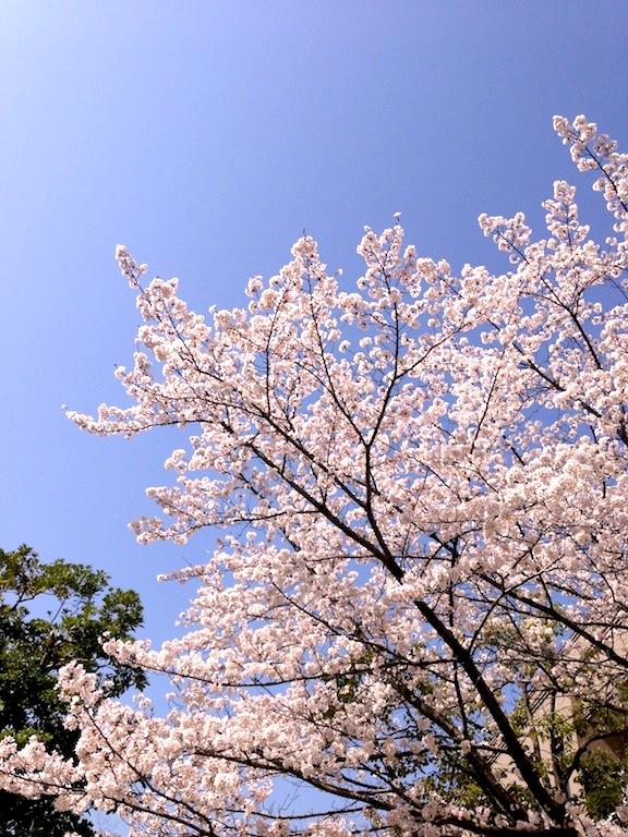 20130405setasakura2.jpg